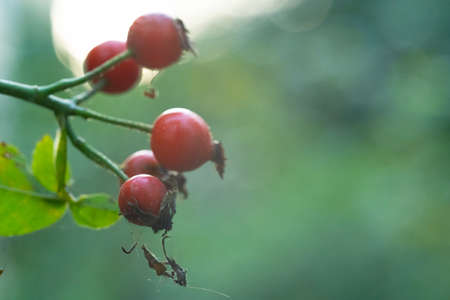 Rosehip bush with growing fruits