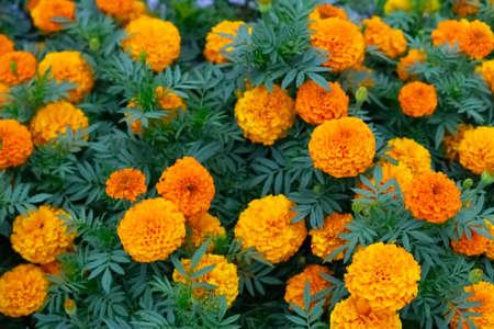 Orange flowers as background or texture Stock fotó