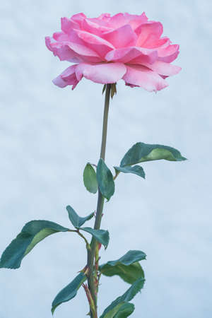 Full blooming bud of a growing rose