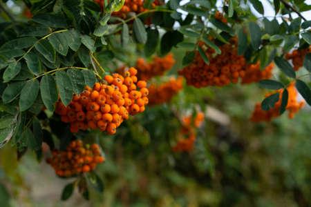 Rowan branch on a growing tree