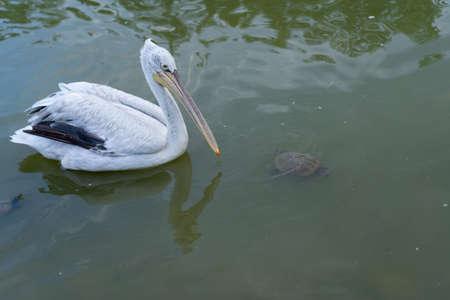 Pelican swims in the pond Stock fotó