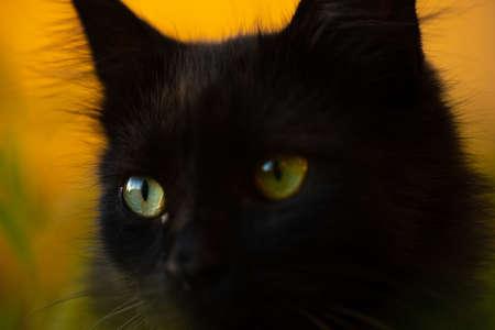 Close look of a black cat