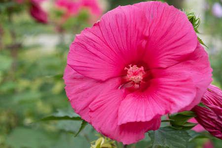 Growing and blooming huge flower