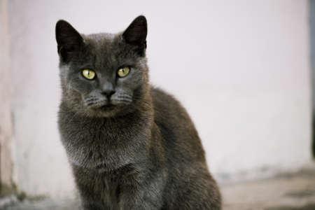A close look of a Siamese cat