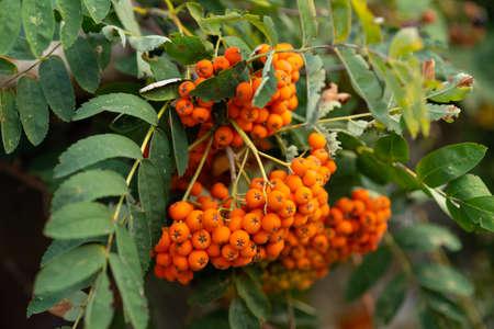 Growing rowan tree with fruits