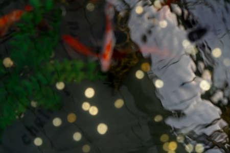 Fish swim in the pond