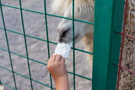 Child feeding a llama at the zoo