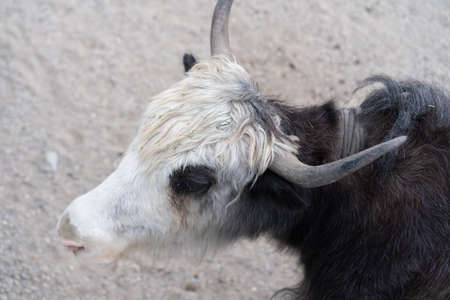An adult yak walks on the ground Imagens