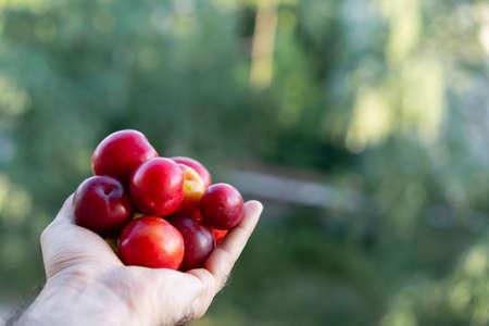 Ripe cherry plum in human hand Imagens