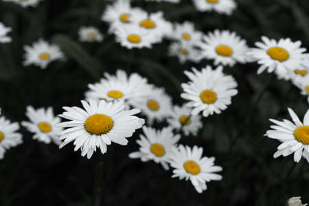 Blooming daisies as background or texture Imagens
