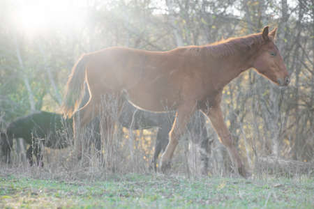 Horses walk on the ground at sunset