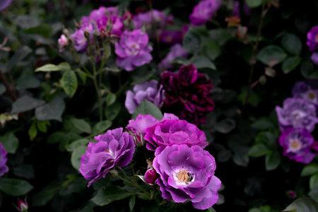 Rose buds flowers in the garden Imagens