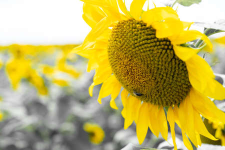 Sunflower growing in the field Imagens