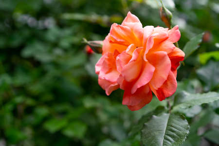 Orange roses blooming in the garden Imagens