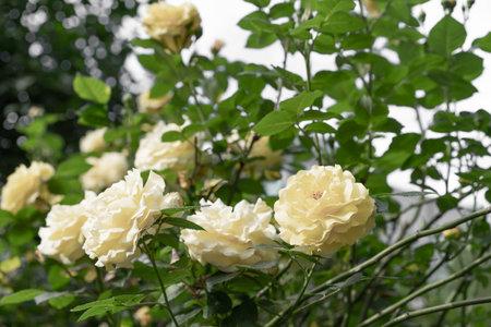 Yellow roses bloom in the garden