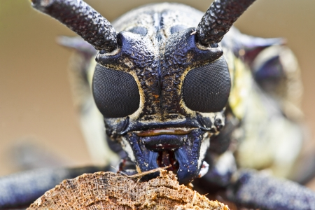 borer: insect mulberry borer longhorn beetle Stock Photo