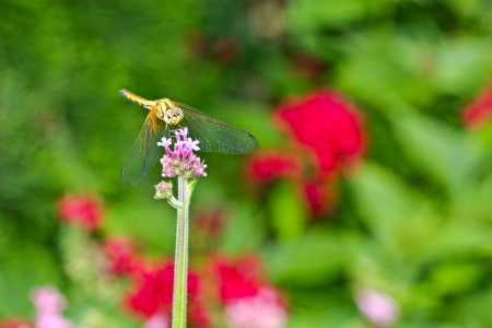 Dragonfly on a panicle with colorful flower background photo