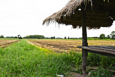 agriculturalist: Rice field, the main agriculture of Thailand Stock Photo