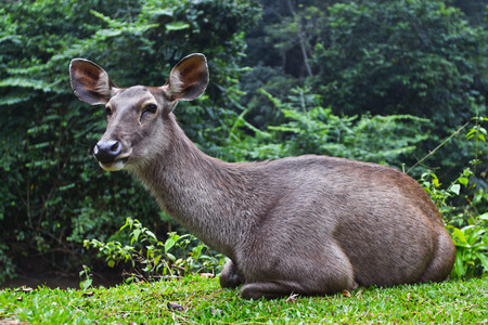 degradation: Barking deer, One kind of the deer in degradation forest or are cleared Stock Photo