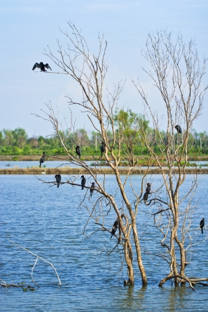 sequester: Little cormorant together as a group on tree spread the wings to sunbathe