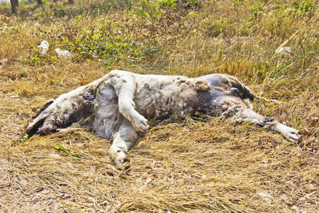 dead dog: Dog dead and going to decompose Stock Photo