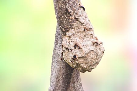 Wasps nest holding on a tree photo