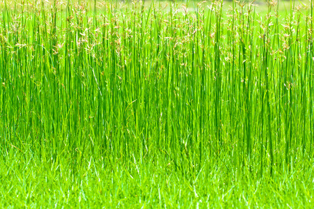 sedge: Sedge in green field