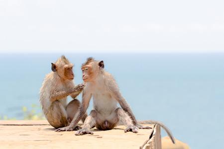 Couple of cute monkey in seaside Stock Photo