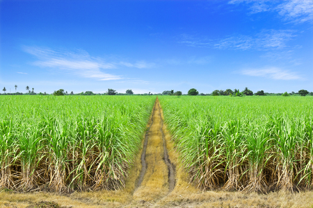 sugarcane: Sugarcane in farm with blue sky in Thailand