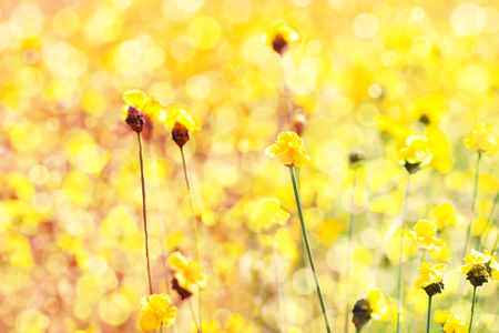 brilliantly: Golden flower field with Brilliantly illuminated light of the sun in the morning Stock Photo