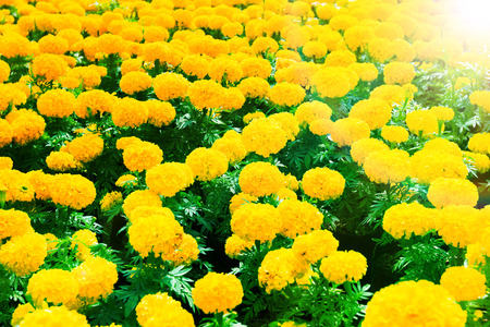 brilliantly: Golden flower field with Brilliantly illuminated light of the sun in the morning with rainbow Stock Photo
