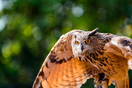 In the mood of attack - Big Horned Owl Stock Photo
