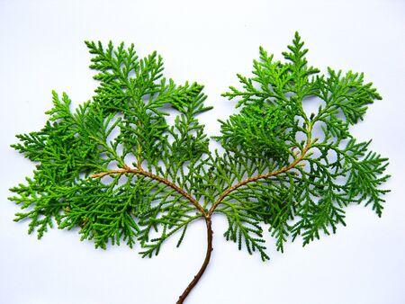 leaf tree Stock Photo - 7515998