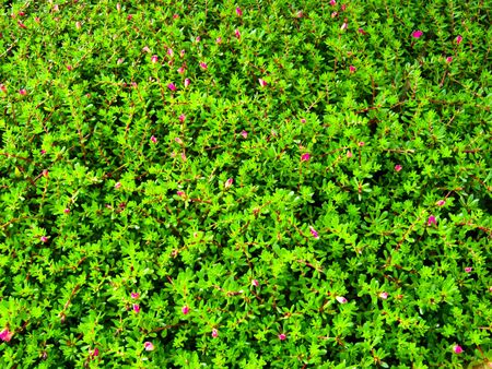 green bush with pink flowers photo