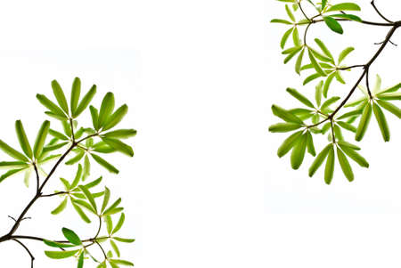 green leaf isolated on white background Stock Photo - 9939379
