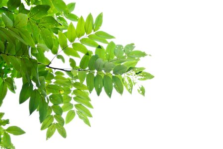 green leaf on white isolate Stock Photo - 10999092
