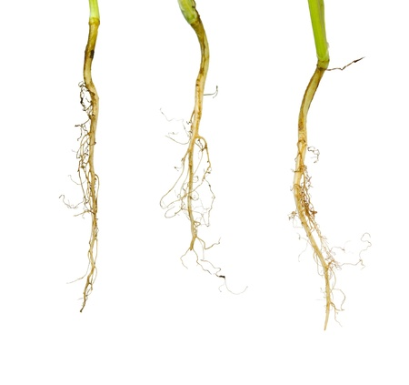 tree root on white isolate