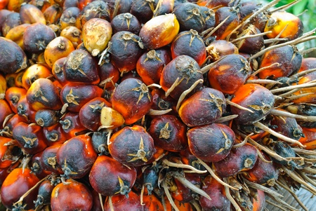 green power palm oil tenera fruit bunch background