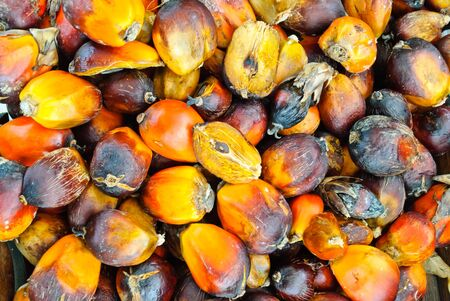 green power palm oil tenera fruit bunch background photo