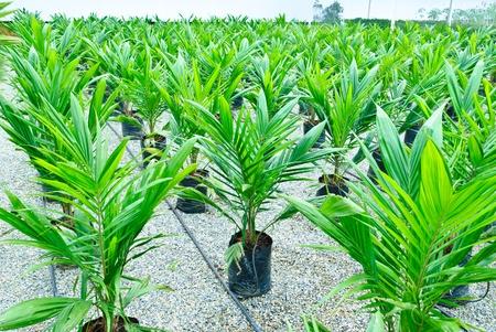 green power palm oil tenera fruit bunch background Stock Photo - 11572644