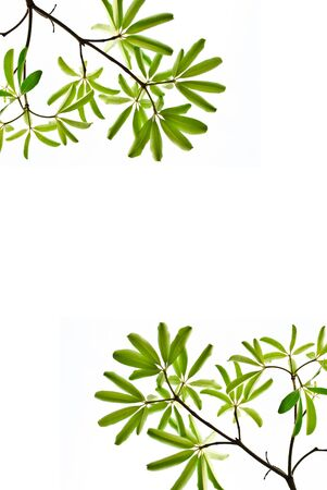 green leaf isolated on white background Stock Photo - 11759172