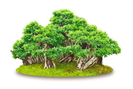 Japanese Evergreen Bonsai on White Background Stock Photo - 13733341