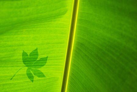 leaf shadow on banana green leaf Stock Photo - 16517115
