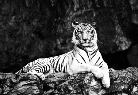 black&amp white tiger Stock Photo - 17455458