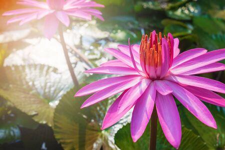 Lotus flower in the pond Archivio Fotografico - 138105930