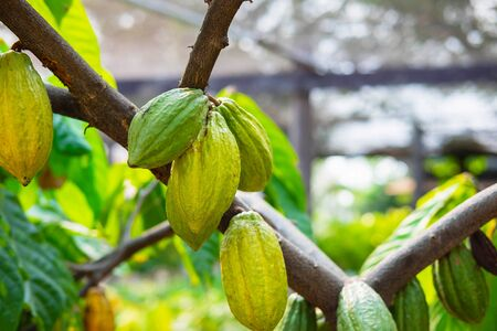 Fresh cocoa fruit from cocoa trees