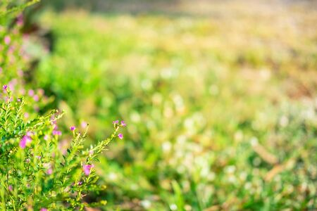 Morning light spring  with False Heather flowers Stock Photo