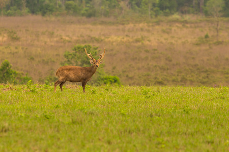deer stand: Male hog deer stand alone on meadow and forest