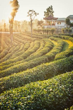 agriculture sri lanka: Tea plantations at sunset  in Thailand