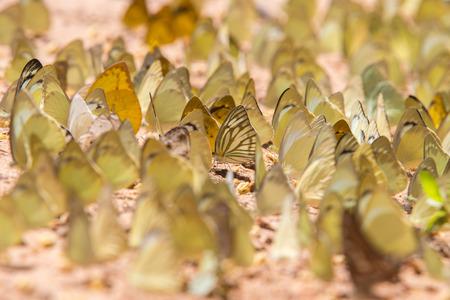 pang: Group of butterfly on the ground. Pang Sida national park. Sa Kaeo Province, Thailand.